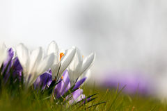 Spring crocus against a white background Stock Images