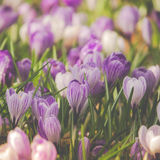 Spring Crocus. Beautiful Purple and White Spring Crocuses Blooming in A Field Royalty Free Stock Photography