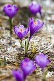 Spring crocus. Beautiful spring crocus flowers with purple petals Stock Images