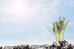 Spring crocus on blye sky background. Spring, easter crocus on blye sky background stock images