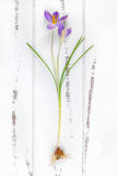 Spring crocus with bulb on a wooden background Royalty Free Stock Photo
