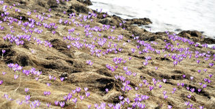 Crocus in Ciucas Mountains Stock Image