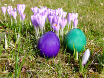 Spring Crocus and Easter Eggs Stock Images