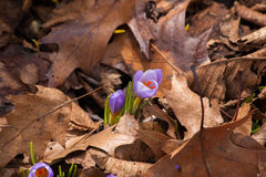 Spring crocus in fallen leaves Stock Image