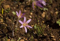 Spring crocus Stock Images