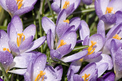 Spring crocus flower Royalty Free Stock Photos