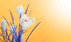 Spring crocus flower bouquet Stock Image