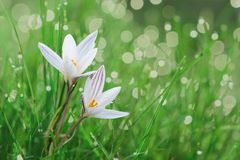 Spring crocus flower in a lawn. stock image