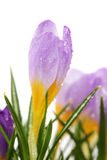 Spring crocus flower with water droplets. (shallow focus Stock Images