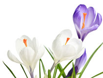 Spring crocus flowers Stock Photo