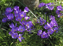 Spring Crocus Flowers. Purple Spring Crocus Flowers in the Garden Royalty Free Stock Photo