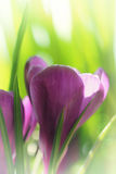 Spring crocus flowers. Abstract spring background Royalty Free Stock Photo