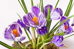Spring Crocus flowers Royalty Free Stock Photography