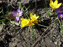 Spring crocus flowers bloom. Blossom royalty free stock photos
