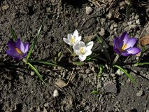 Spring crocus flowers bloom. Blossom royalty free stock photography