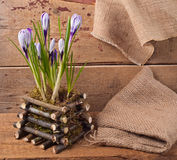 Spring Crocus flowers. Blue Crocus flowers on old wooden background royalty free stock photography