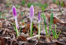Spring crocus flowers. Floral wallpaper in natural environment Royalty Free Stock Image
