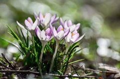 Spring crocus. Spring flowers - spring crocus in the forest royalty free stock images