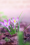 Spring crocus flowers in garden Stock Photos