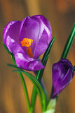 Spring crocus flowers on natural background. Selective focus Royalty Free Stock Photography
