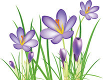 Spring crocus flowers, purple saffron. Illustration Stock Photo