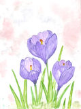 Spring crocus flowers. Watercolor illustration -beautiful blossoming crocus Royalty Free Stock Images