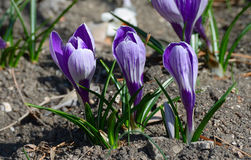 Spring crocus. The group of spring flowers are growing in closeup Royalty Free Stock Photo