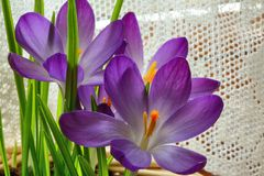 Spring crocus and lace curtain Royalty Free Stock Photos