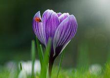 Spring crocus with ladybug Stock Image