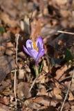 Spring Crocus stock images