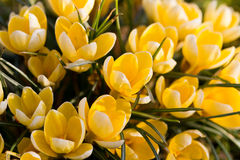 Spring Crocus on a meadow Royalty Free Stock Images