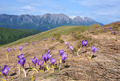 Spring Crocus in mountains Royalty Free Stock Photography