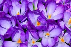 Spring crocus Stock Image