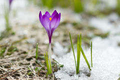 Spring crocus Royalty Free Stock Photography