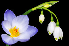 Spring crocus and snowdrop flowers Royalty Free Stock Photo