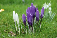 Spring crocus. And winter bellflower Royalty Free Stock Photo