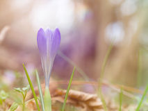 Spring crocus in wood, backlit. Stock Photography