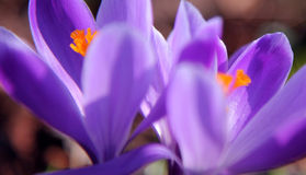 Spring crocuses Royalty Free Stock Photos