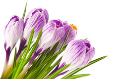 Spring crocuses Stock Image