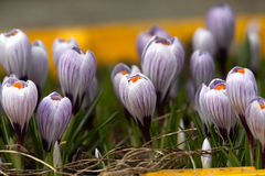 Spring crocuses Stock Images