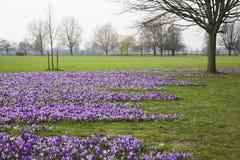 Spring crocuses Stock Photo