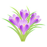 Spring crocuses. Bunch of spring crocuses on a white background Royalty Free Stock Photos