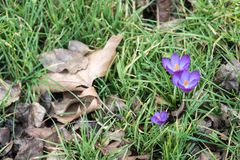 Spring crocuses among the autumn leaves stock images