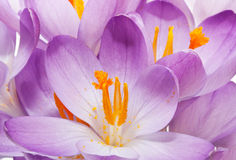 Spring crocuses background Royalty Free Stock Photos