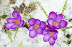 Spring crocuses Stock Photography