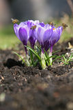 Spring crocuses with bees. Stock Image