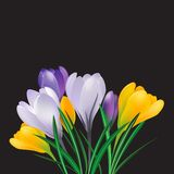Spring crocuses. On the black background.Vector greeting card Royalty Free Stock Photo