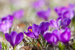 Spring crocuses in bloom Stock Photo