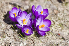 Spring crocuses in bloom Stock Photography