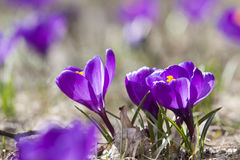 Spring crocuses in bloom Royalty Free Stock Photography